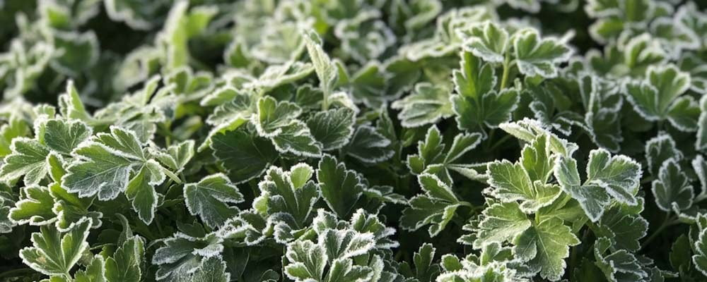 Continental Parsley Frost