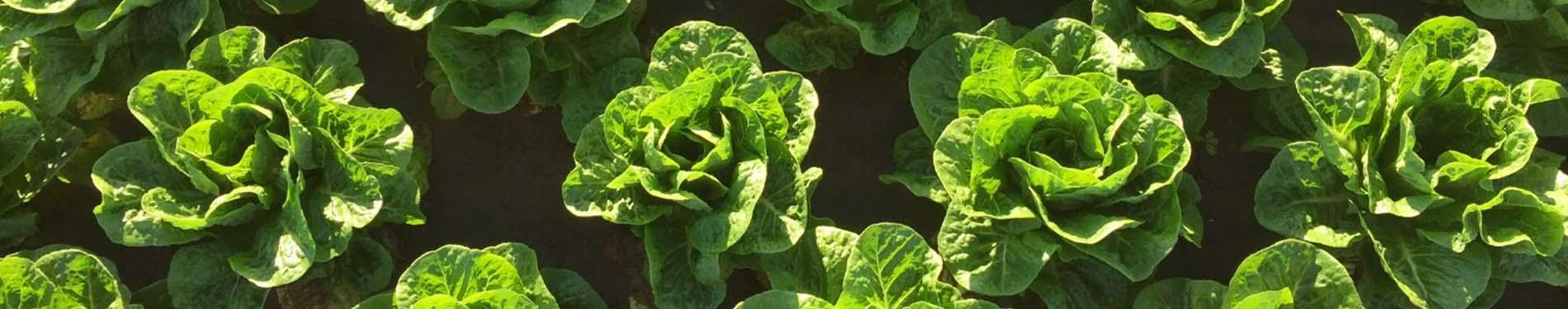 Cos Lettuce Banner