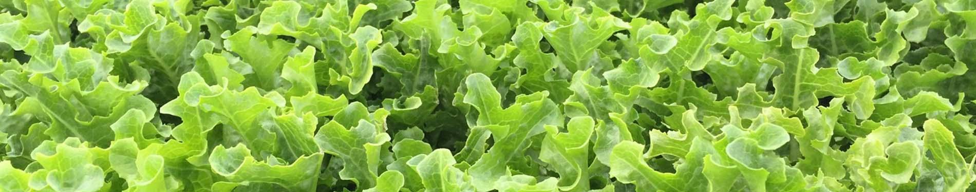 Curly Lettuce Banner