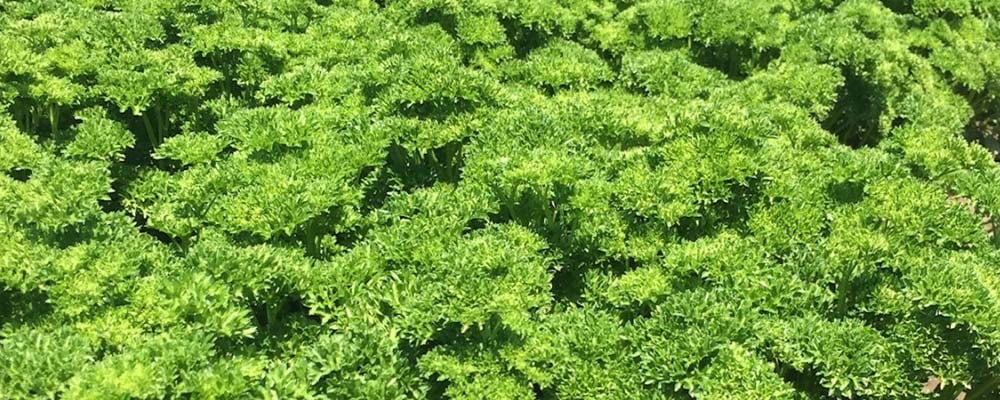 Curly Parsley in the Field