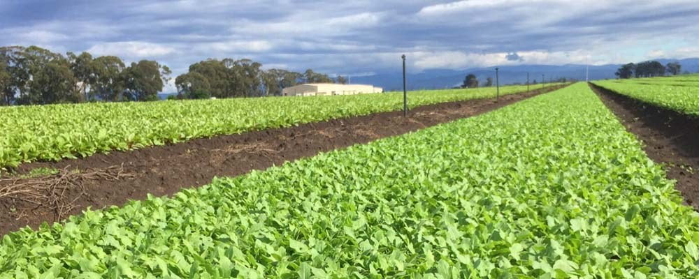 Leafy Salad Vegetables Farmed